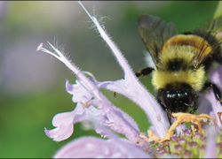 Michigan's endangered pollinators: how you can help