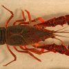 Invasive red swamp crayfish found in Michigan