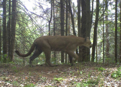 Cougar photographed in Marquette County
