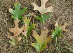 DNR advises earlier caution against oak wilt disease
