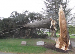 High winds take down 100-year-old tree