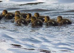 Baby Ducklings