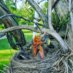 Feed me! Robins in the nest. Photo by Wendy Russell.