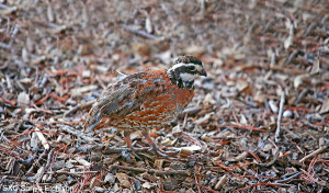 -OUT-Nothern-Bobwhite-(Sonya-Etchison)
