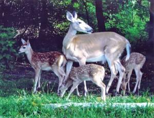 N-Deer