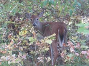 N-Deer-photo