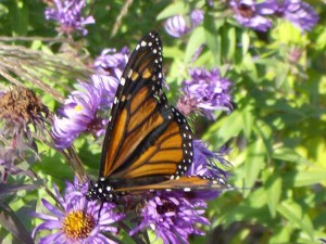OUT-Monarch-butterfly-McFar