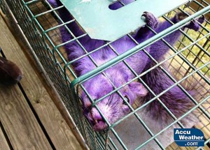 COLOR ME PURPLE: What caused the purple fur on this squirrel is a mystery. Photo courtesy of Accuweather.com.
