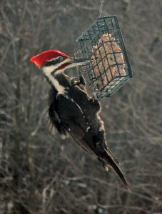 These two pileated woodpeckers were spotted in Cedar Springs last winter, by two different people. Send your bird photos to news@cedarspringspost.com.
