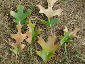 OUT-Oak_wilt_leaf_symptoms2