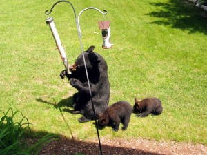OUT-Bears_at_birdfeeder
