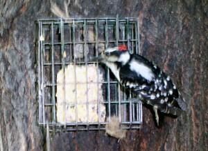 Nwoodpecker