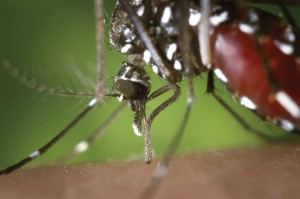 Mosquitoes are known to spread the West Nile Virus. Photo courtesy of the Centers for Disease Control.
