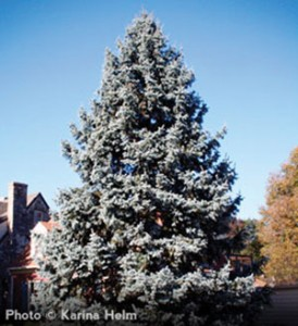 _OUT-Arbor-Day-colorado-blue-spruce