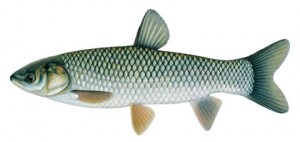 Grass carp, an Asian carp species, can be more than 5 feet long and weigh more than 80 lbs. It has large scales that appear crosshatched and eyes sit even with the mouth.