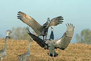Sandhill Cranes are making a comeback. Here they appear to be dancing. Photo by Tom Hodgson, courtesy of Michigan Audobon Society.