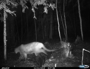 The Michigan DNR recently verified this November 2012 trail camera photo of a cougar in northern Marquette County. The DNR has now verified the presence of cougars in the Upper Peninsula 20 times since 2008.