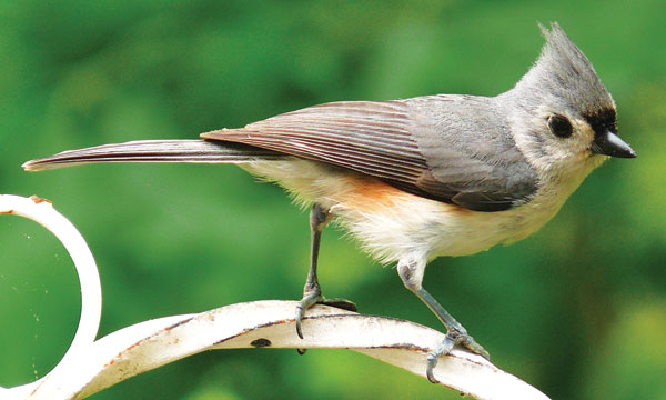 OUT-Nature-niche-Tufted-Titmouse