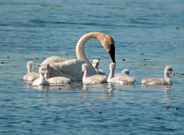 The Trumpeter Swan is the only swan native to Michigan. It is the largest species of waterfowl in the world. Photo by Corey Gildersleeve.