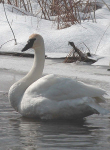 -OUT-TrumpeterSwan2-Winter(CG)