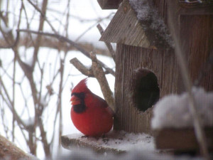 This little guy was seen at a feeder after the blizzard last year, at Bob and Mary Lou Fullers home, south of the Cedar Springs city limits. 