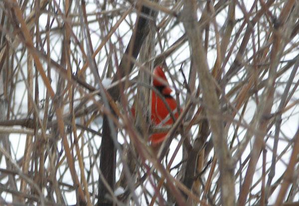 -N-Cardinal