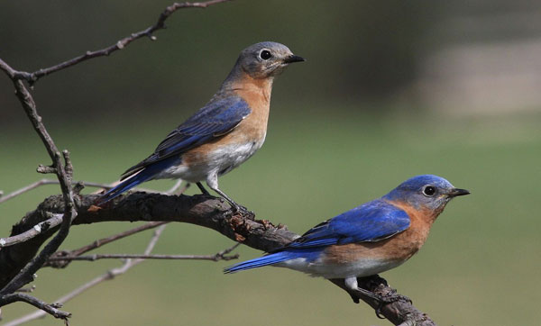 OUT-Birdfeeding-month-eastern-bluebirds