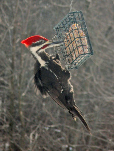 _OUT-Birdfeedingmonth2-Woodpecker-male