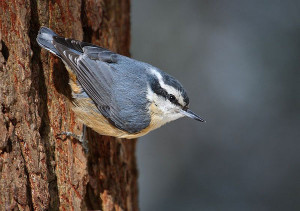 Redbreasted nuthatch.