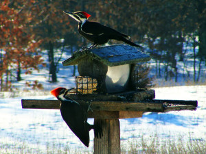 N-Pileated-woodpeckers