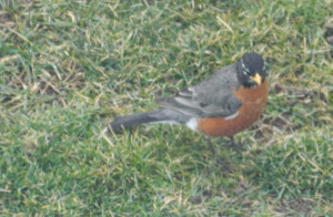 -N-Signs-of-spring-Robin-sighting