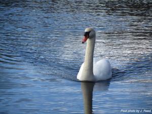 N-Swan-photo