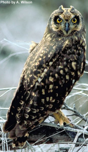 OUT-barking-owl-(short-eared)-photo
