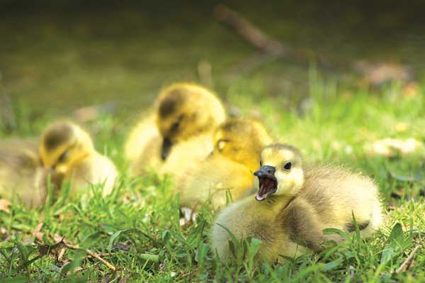 Baby birds, like these geese, will usually continue to be fed by their parents, even if it appears theyve been left alone. The DNR advises that if you find baby animals in the wild, its best to leave them there.