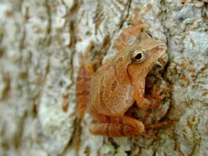 Its now time for the frogs to begin singing, including ones like this spring peeper. Photo by the US Geological Society.