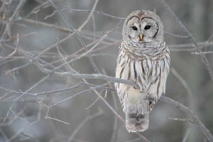 The barred owl is one of the owls found in our area.