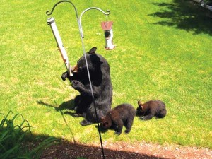Hungry bears emerging from their winter hibernation are often attracted to bird feeders. To avoid problems with nuisance bears, the Department of Natural Resources advises Michigan residents to take bird feeders down temporarily until natural food sources become available.