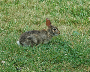 DIG-Protect-lawn-from-wildlife