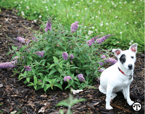 Compact plants like 'Lilac Chip' butterfly bush contribute to a low-maintenance landscape.