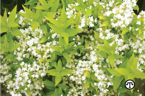 The cheery gold of Chardonnay Pearls deutzia can brighten your yard.