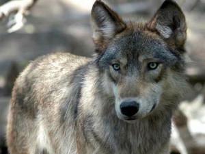 OUT-Michigan-wolf