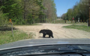 A female black bear crossing in front of wildlife biologist Pete Kailing's truck.