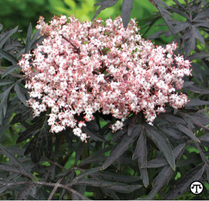 Black Lace elderberry can beautify the landscape and provide bumper crops of nutritious fruits.