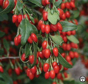 Sweet Lifeberry goji produces antioxidant-packed berries of exceptional vigor, flavor and size.