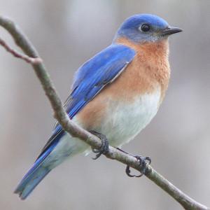 OUT-Bluebird