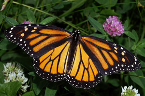 OUT-Monarch-butterfly