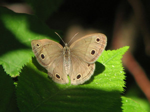 This Little Wood Satyr butterfly was one of many species of butterflies seen in the Allegan Butterfly Count.