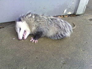 An opossum playing dead.
