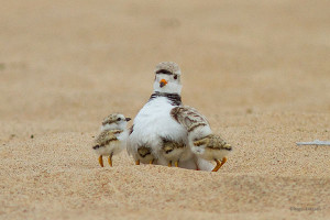 A male piping plover with four chicks. Photo by Roger Eriksson, Michigan Audubon Society.