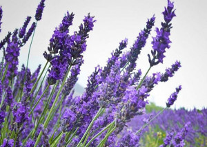 BLOOM-Fresh-market-lavender
